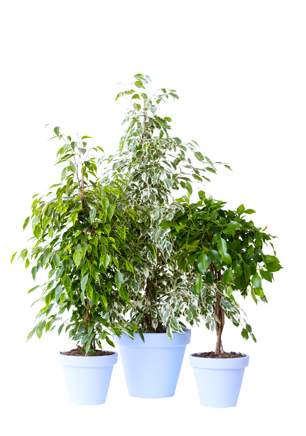 january 2017 ficus benjamina houseplant of the month flower council. Black Bedroom Furniture Sets. Home Design Ideas
