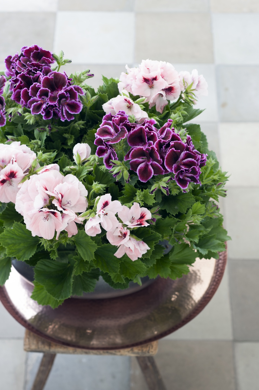 Комнатные цветы фото и названия герань комнатная