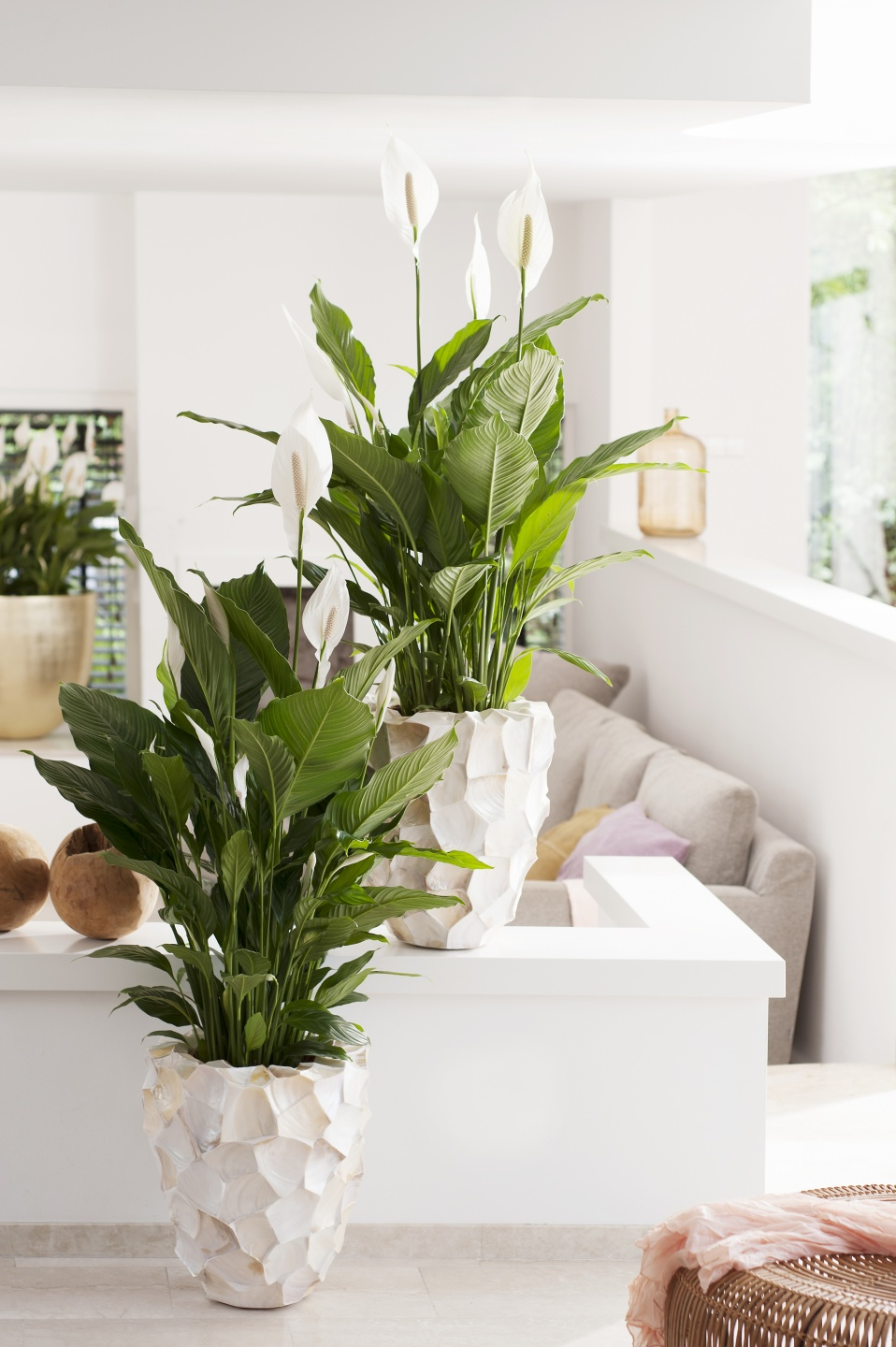 Peace lily houseplant of the month of june flower council download image dhlflorist Gallery