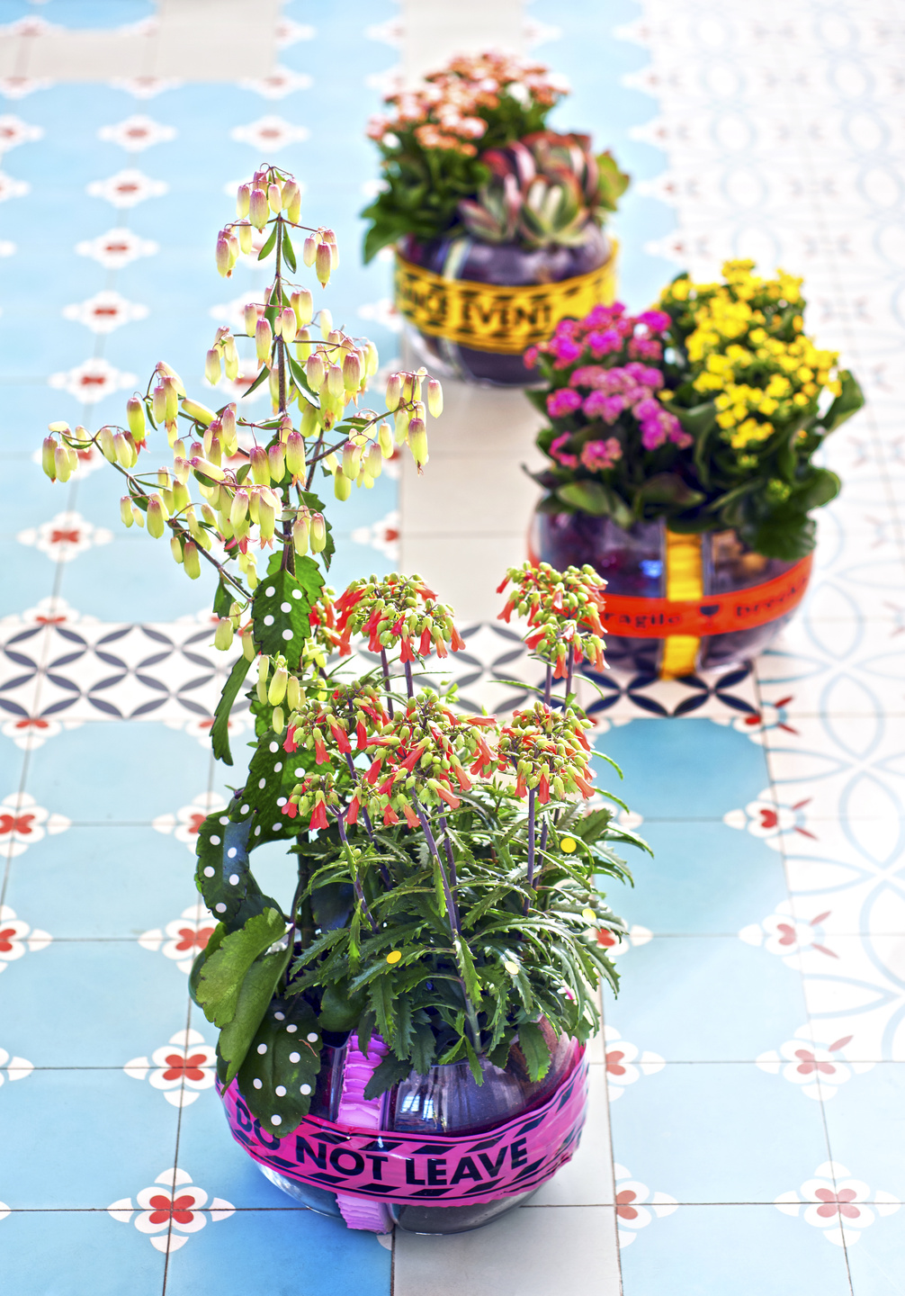 July 2017: Kalanchoe Houseplant of the Month   Flower Council on cabbage house plant, opuntia house plant, lantana house plant, mandevilla house plant, acacia house plant, sage house plant, zinnia house plant, kentia palm house plant, carnation house plant, crossandra house plant, sansevieria house plant, camellia house plant, shrimp plant house plant, fittonia house plant, holly house plant, buddhist pine house plant, cast iron plant house plant, periwinkle house plant, cereus house plant, crassula house plant,