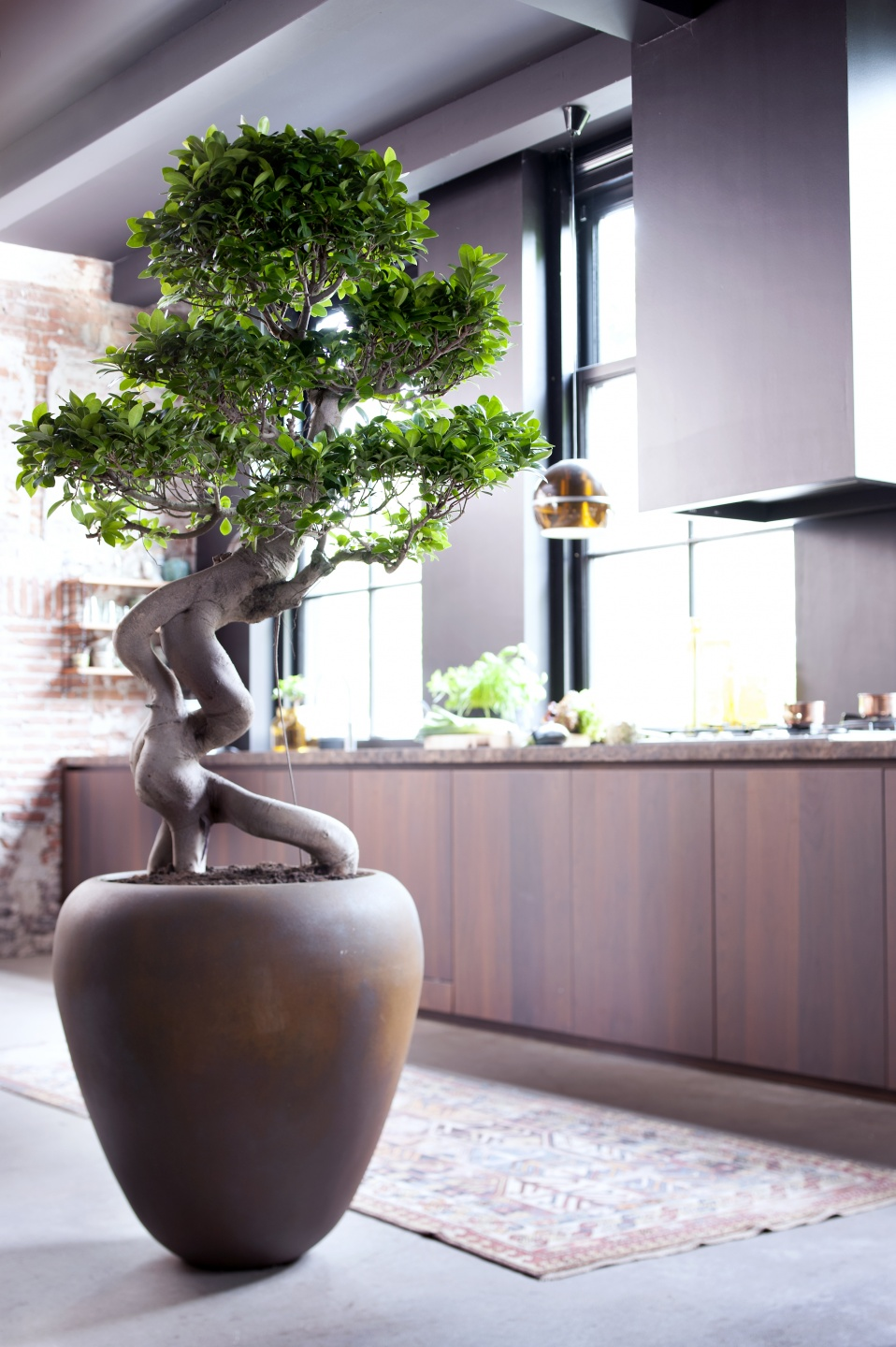 July 2015 The Ficus Ginseng Is Houseplant Of The Month