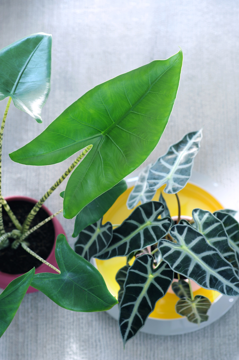September 2017: Alocasia Houseplant of the Month   Flower ... on colocasia house plant, lantana house plant, scilla house plant, camellia house plant, orchid house plant, filarum house plant, araucaria house plant, small cactus house plant, brugmansia house plant, anubias house plant, pleomele house plant, nephthytis house plant, amaranthus house plant, scindapsus house plant, iris house plant, taro house plant, zinnia house plant, poinsettia house plant, alternanthera house plant, mandevilla house plant,