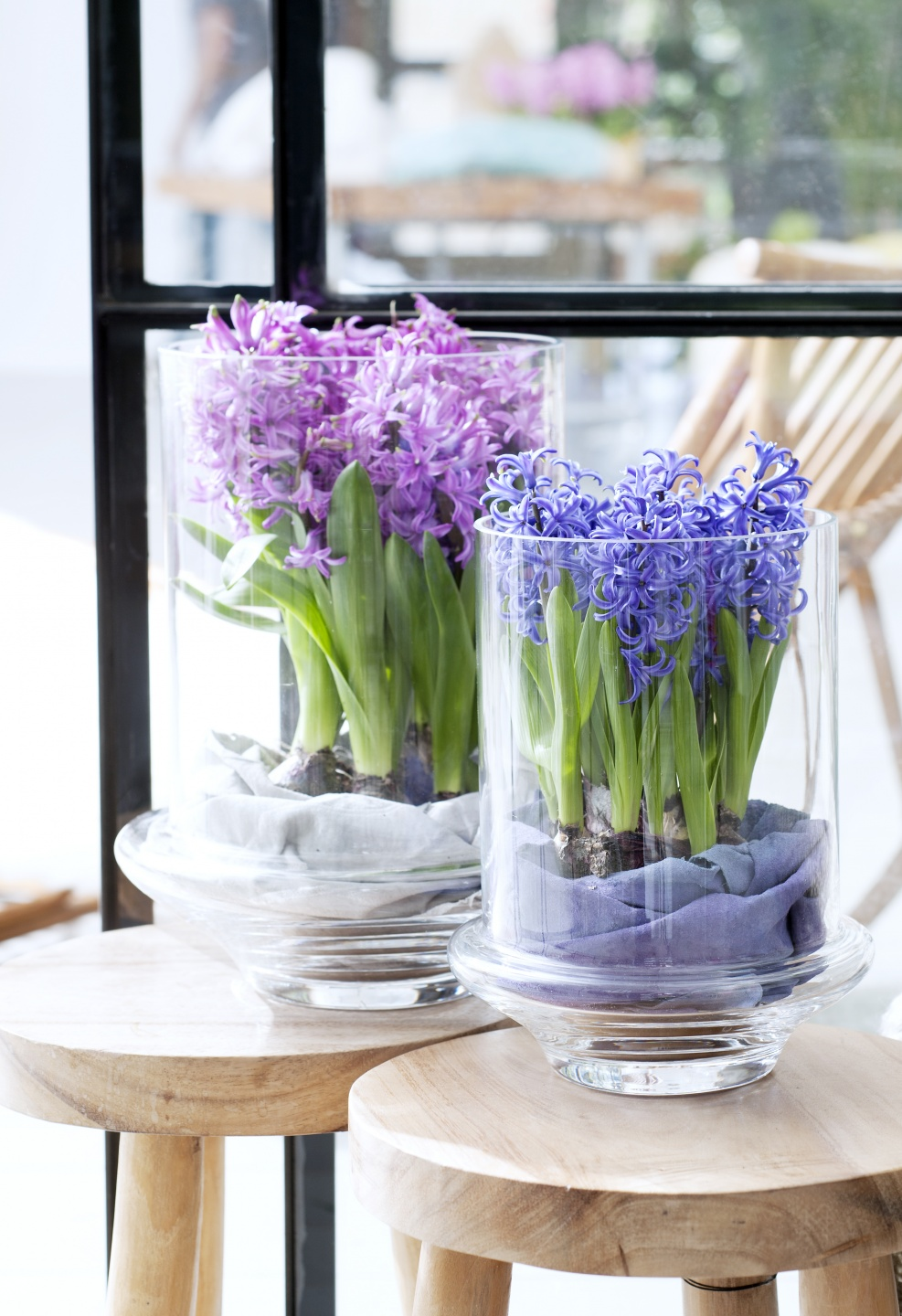 December 2015: the Hyacinth is the Houseplant of the month ...
