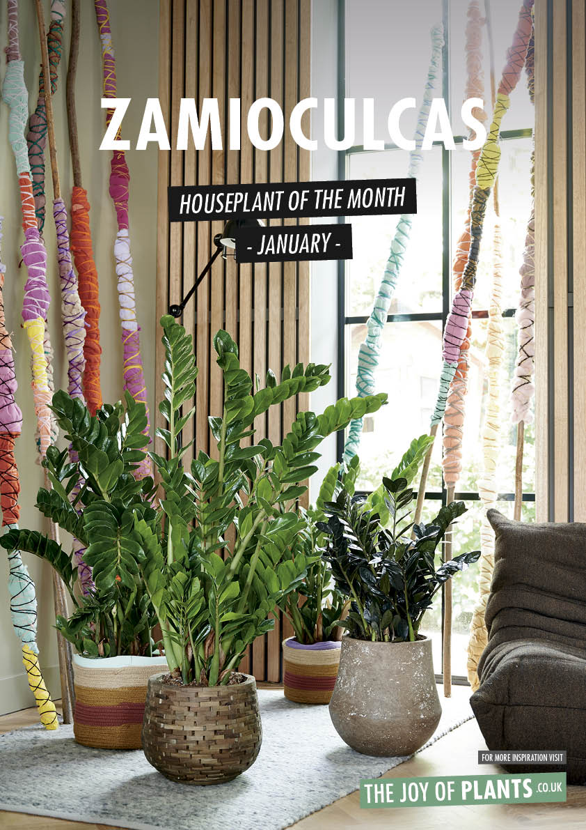Zamioculcas: HPOTM January 2020