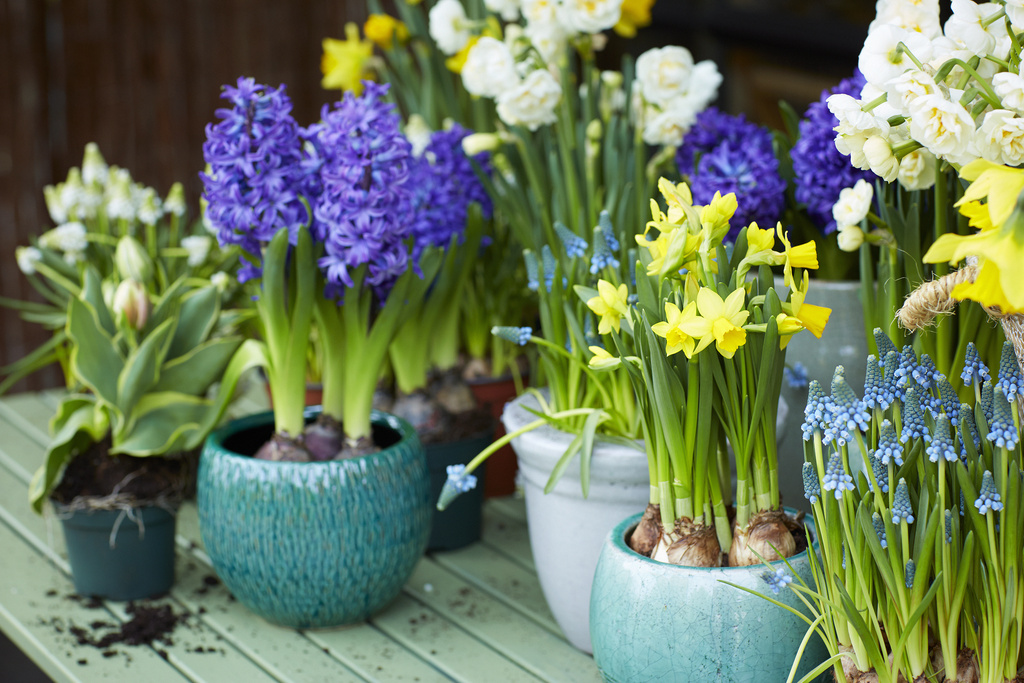Garden Plant Of The Month For February Potted Bulbs Flower Council