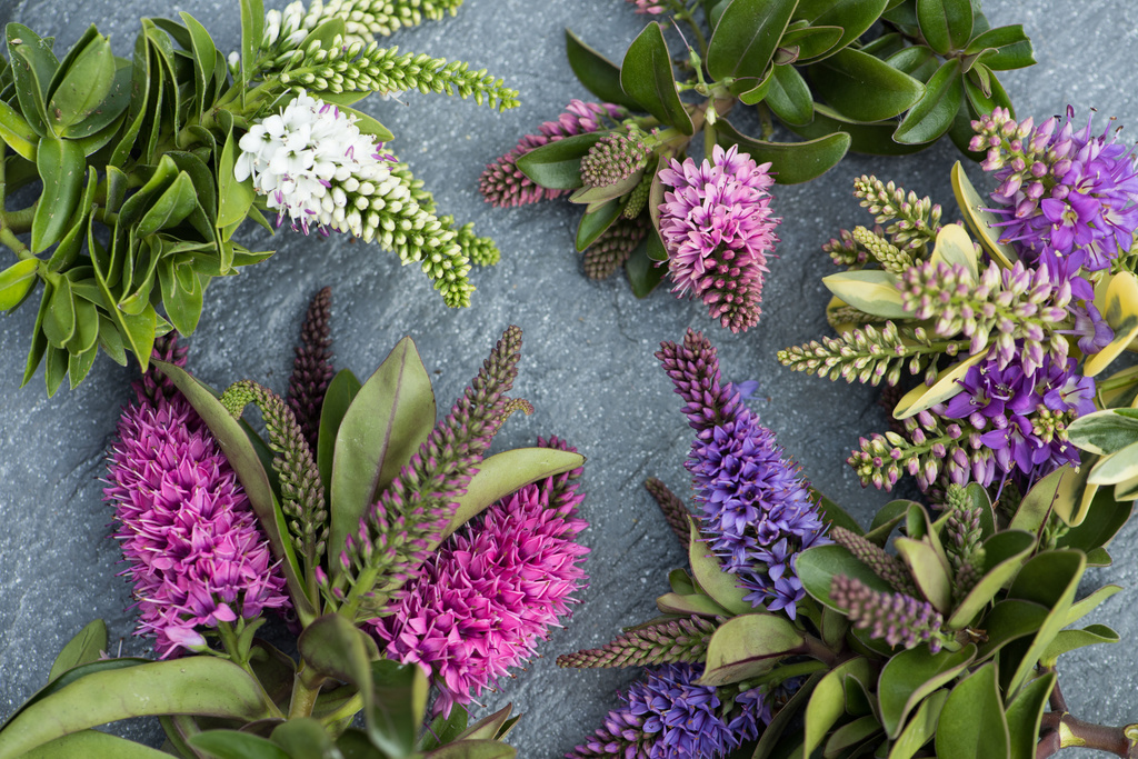 Garden plant of the month august hebe flower council for Hebe arbusto