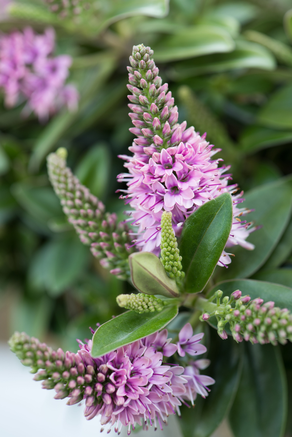 Garden plant of the month august hebe flower council for Hebe pianta