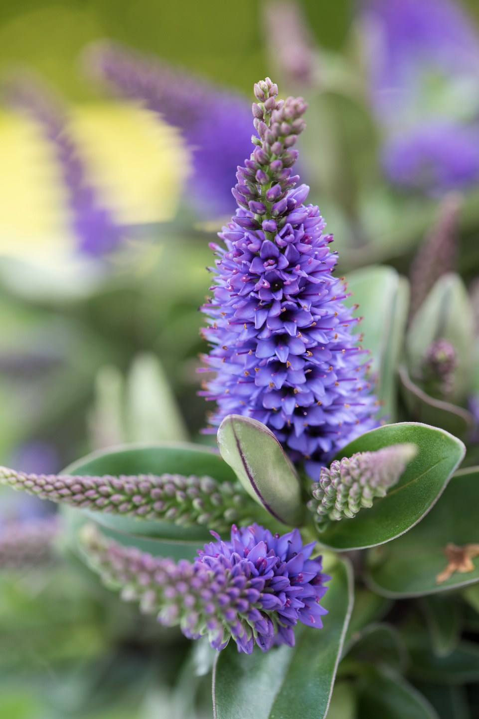 Garden Plant of the Month August: Hebe | Flower Council