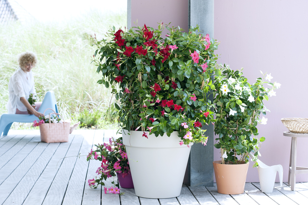 Garden Plant Of The Month For May Mandevilla Flower Council
