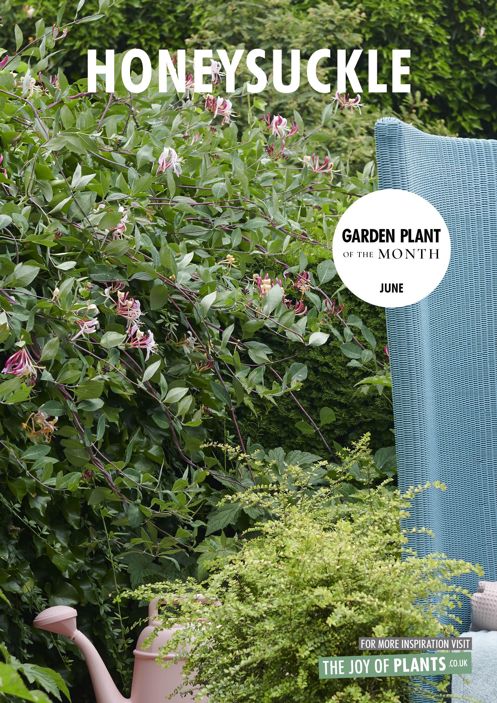 Garden Plant of the Month: Honeysuckle
