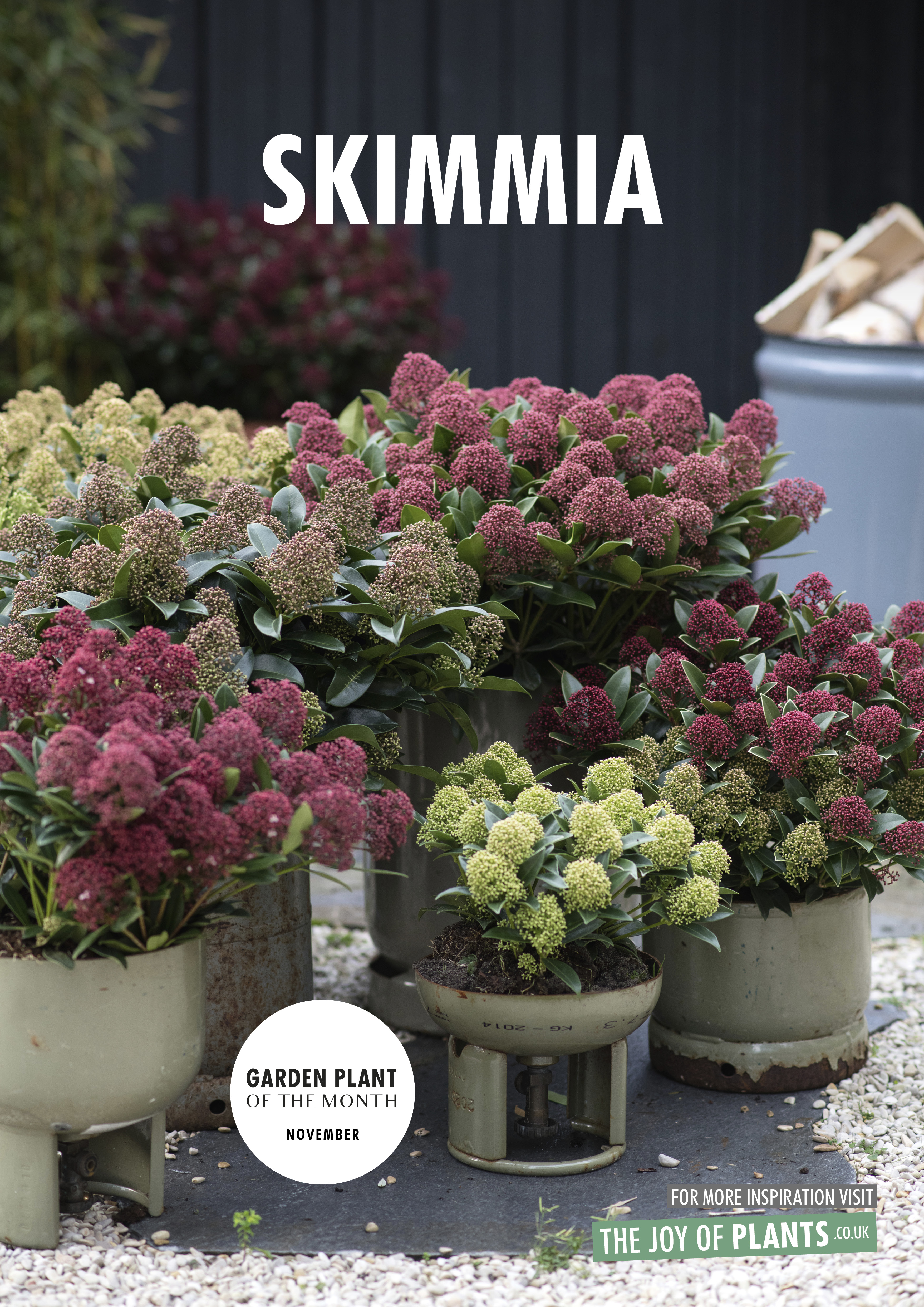 Garden Plant Of The Month November Skimmia Flower Council
