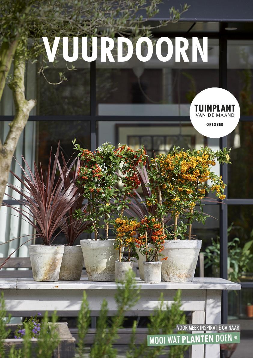 Tuinplant van oktober 2018: de vuurdoorn