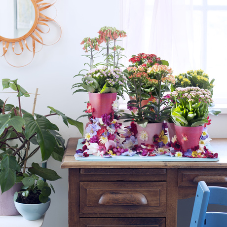 Kalanchoe Houseplant of the Month July 2017