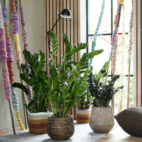 Zamioculcas: Houseplant of the Month for January 2020
