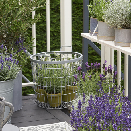 Balcony Plant for 2018: lavender