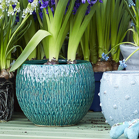 Garden Plant of the Month for February: Potted bulbs: Hyacinth, Narcissus, Muscari