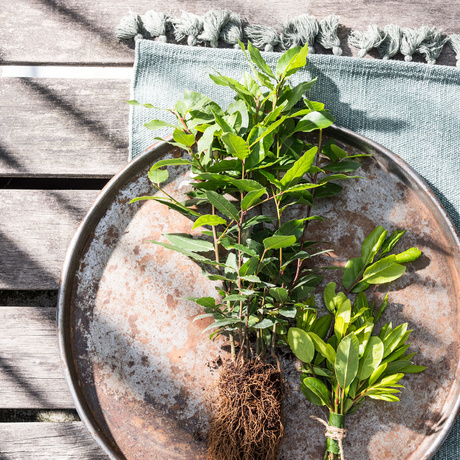 Balcony plant for 2019: Bay laurel