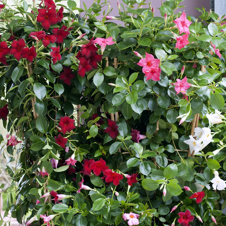 Garden Plant of the Month for May: Mandevilla