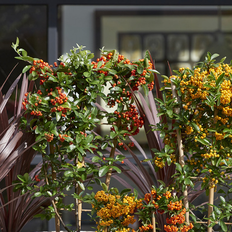 Pyracantha: Garden Plant of the Month October