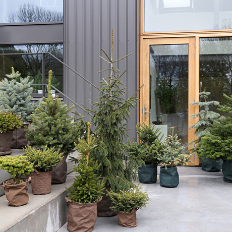 Festive Pines: December Garden Plants of the Month 2019
