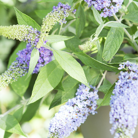 Garden Plant of the Month for August: Butterfly Bush