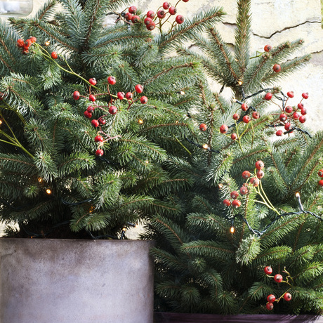 Garden Plant of the Month for December: Spruce