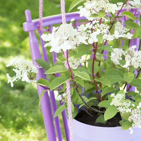 Garden Plant of the Month for July: Panicle hydrangea