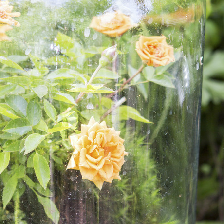 Garden Plant of the Month for June: Rose