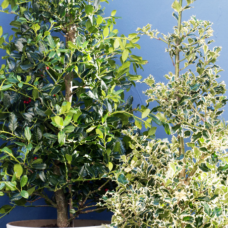 Garden Plant of the Month for November: Holly