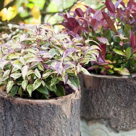 Garden Plant of the Month for October: Leucothoe