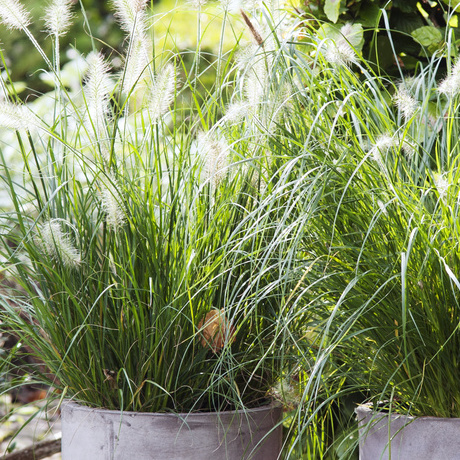 Garden Plant of the Month for September: Fountain grass