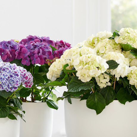 Hydrangea: April 2018 Houseplant of the Month