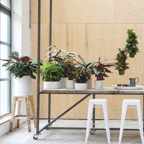 Calathea: November Houseplant of the Month 2019