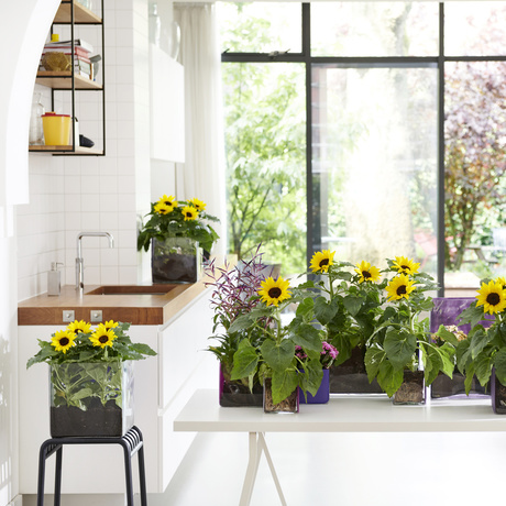 Sunflower: June 2019 Houseplant of the Month