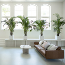 Areca palm: Houseplant of the Month February 2020