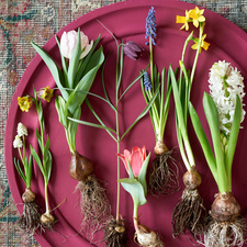March 2018: Springtime bulbs  Houseplants of the month