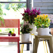 Celosia: The Houseplant of July 2020