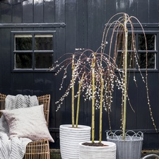 February Garden Plant of the Month: Salix