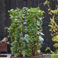 March Garden Plant of the Month: Ivy