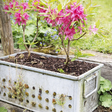 Garden Plant of the Month for March: Azalea