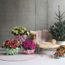 Poinsettia: December Houseplant of the Month  2019