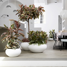 Large-leaved Ficus: September Houseplant of the Month