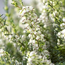 Garden Plant of the Month for January: Erica