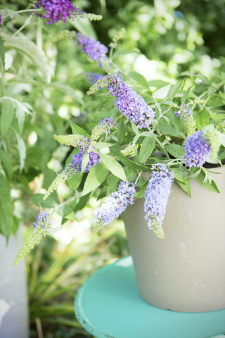 Garden Plant Of The Month For August Butterfly Bush