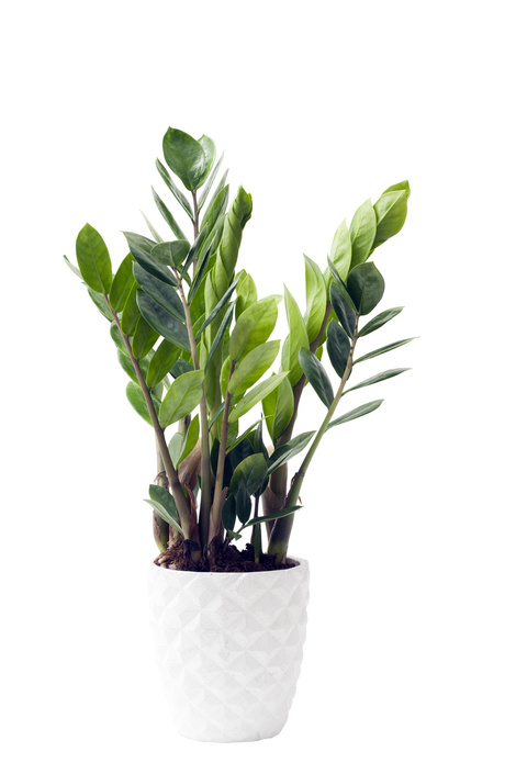 June 2016 zamioculcas is houseplant of the month flower for Plante zamioculcas