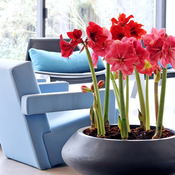 December 2017: Amaryllis Houseplant of the Month