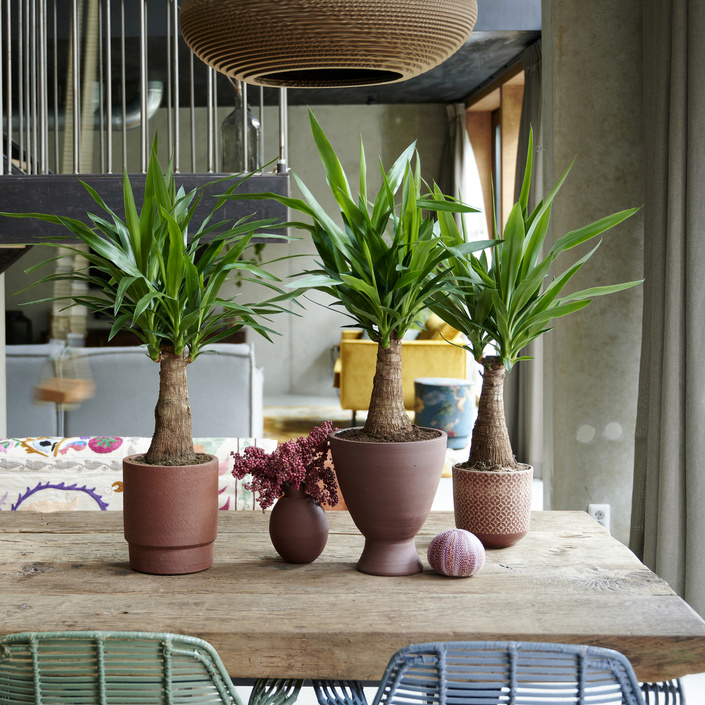 Yucca: the Houseplant of the Month for December