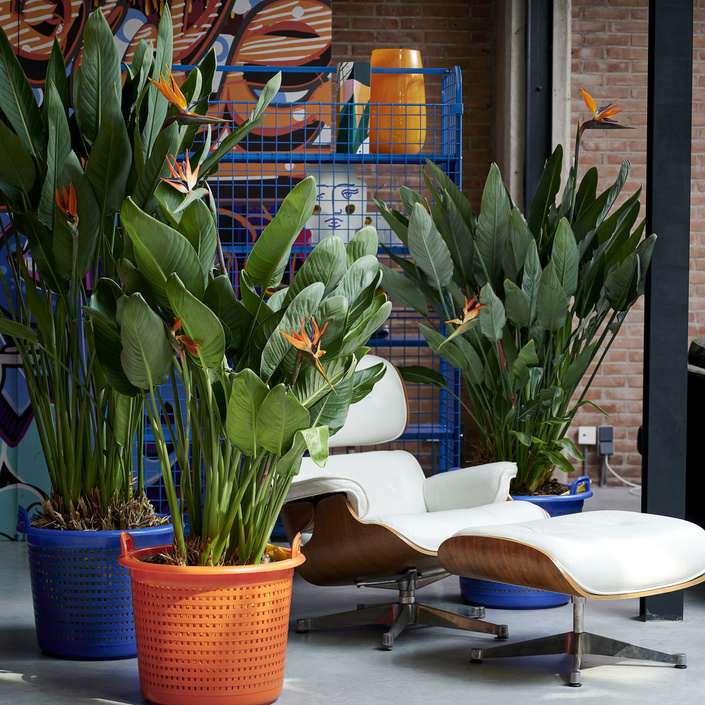 Strelitzia: the Houseplant of the Month for September 2020