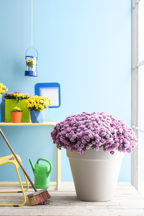 Garden Plant of the Month for September: Cushion Chrysanthemums