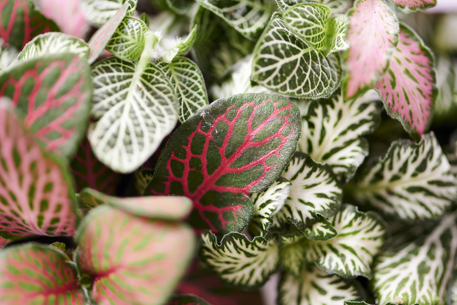 The Trend Collection Spring/Summer 2021| Hypoestes and Fittonia